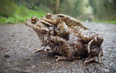 A photo by John Wesson of two toads mating taken on the Samsung S6 smartphone camera